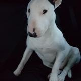 Izno (Bull Terrier)