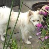Bella (Pomeranian)