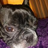 Audrey - Bulldog Francés