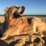 Chico (Golden Retriever)