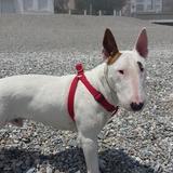 Ozzy  (Bull Terrier)