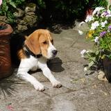 Bernie (Beagle)