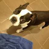 Louis (Boston Terrier)