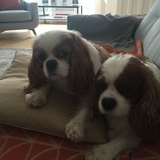 Henry And Jenson The Cavaliers  (Cavalier King Charles Spaniel)