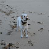 Nellie (Labrador Retriever)