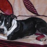 Lisa (Amerkanischer Staffordshire Terrier)