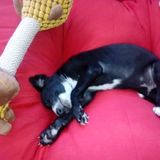 Rocco (Galgo)