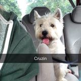 Toby (West Highland White Terrier)