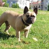 Sany (Bulldog Francés)