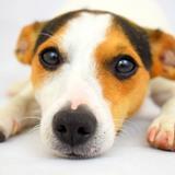 Jessie (Jack Russell Terrier)