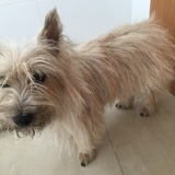 Valentina (Cairn Terrier)