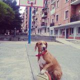 Vito (Sabueso Español)