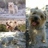 Iker (Yorkshire Terrier)