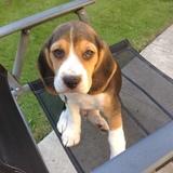 Mac (Beagle)