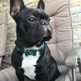 Lorenzo (Bulldog Francés)
