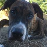 Otto (Boxer)