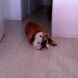 Winston (Bulldog Anglais)