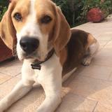 Hektor (Beagle)