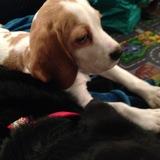Lula  (Beagle)