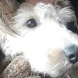 Lucky (Fox Terrier)