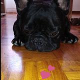 leo - Bulldog Francés