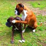 Bolina (Boxer)