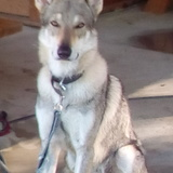 Iban (Chien Loup Tchécoslovaque)