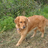 Nikky (Golden Retriever)