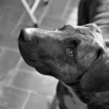 Haiku (Bull Terrier)