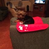 Machito (Yorkshire Terrier)