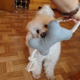Snoopy (Gelockter Bichon)