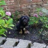 Chaplin (Tibet Terrier)