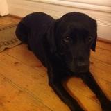 Lola (Labrador Retriever)