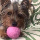 Milu  (Yorkshire Terrier)