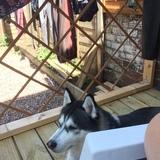 Cooper (Siberian Husky)