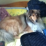 Oscar (Rough Collie)