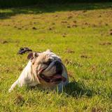 Bella (English Bulldog)