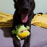 Draco (Bulldog Español)