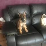 Rosie (German Shepherd Dog)