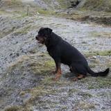 Spike (Rottweiler)