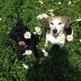 Heidi (Beagle)