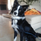 Snoopy (Border Collie)