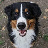 Max (Berner Sennenhund)
