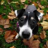 Jack (Jack Russell Terrier)