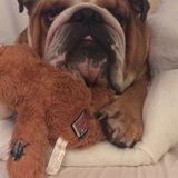 Alfie  - English Bulldog