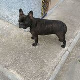 Sura - Bulldog Francés