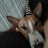 Sophie (Bull Terrier)