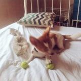 Cedric (Chihuahua)