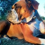 Vermut (Boxer)