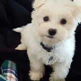 William (Maltese)